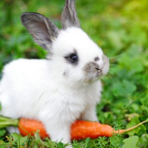 41557977 - funny baby white rabbit with a carrot in grass
